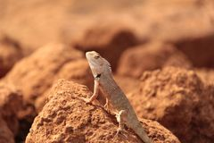 Free Oriental Garden Lizard In Wild Royalty Free Stock Images - 133556649
