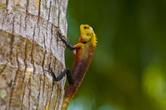Oriental garden lizard - male Stock Photography