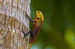 Oriental garden lizard - male. An oriental garden lizard / agamid lizard on a tree Stock Photography