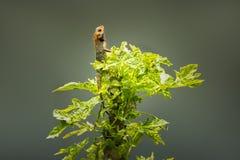 The oriental garden lizard on papaya tree royalty free stock image