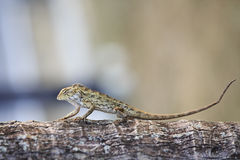 Oriental Garden Lizard Royalty Free Stock Photography