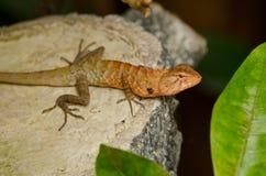 Oriental garden lizard Stock Photo