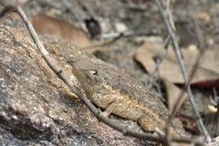 Oriental garden lizard. On rock Stock Photos