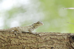 Oriental garden lizard Royalty Free Stock Photo