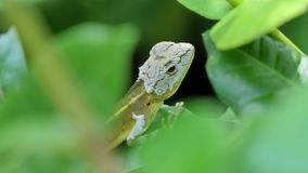 Lizard on the tree in tropical rain forest. stock video footage