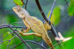 Oriental Garden Lizard waiting on a tree branch Stock Images