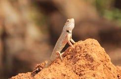 Oriental Garden Lizard in wild royalty free stock photos