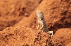Oriental Garden Lizard in wild stock photography