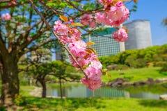 Oriental garden Sakura Royalty Free Stock Photo