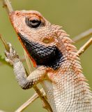 An oriental golden lizard. An oriental golden garden lizard, also known as agama resting on a twig Stock Photo