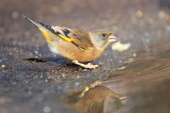 Oriental greenfinch Stock Photography