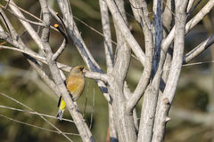 Oriental Greenfinch Royalty Free Stock Images