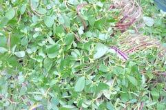 oriental herb portulaca oleracea Stock Image