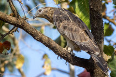 Oriental honey buzzard Stock Photography