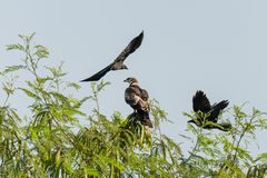 Oriental Honey Buzzard and crow stock images