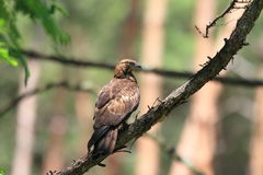 Oriental honey-buzzard Royalty Free Stock Photos