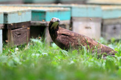 Oriental honey-buzzard Stock Photo