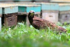 Oriental honey-buzzard Stock Photo