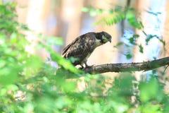 Oriental honey-buzzard in Japan. Oriental honey-buzzard Pernis ptilorhyncus in Japan Royalty Free Stock Images