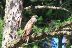 Oriental honey-buzzard in Japan. Oriental honey-buzzard Pernis ptilorhyncus in Japan Stock Photography