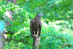 Oriental honey-buzzard Stock Image
