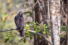 Oriental honey buzzard perching Royalty Free Stock Image