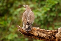 Oriental honey buzzard, Pernis ptilorhynchus, perched on branch in nice morning light against blurred forest in background.  Widli Royalty Free Stock Photos