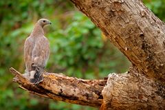 Oriental honey buzzard, Pernis ptilorhynchus, perched on branch in nice morning light against blurred forest in background. Wild e Royalty Free Stock Photo