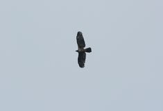 Oriental Honey-buzzard (Pernis ptilorhyncus). Beautifu Oriental Honey-buzzard (Pernis ptilorhyncus) flying in the sky Royalty Free Stock Photos