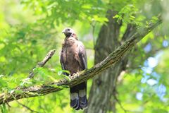 Oriental honey-buzzard in Japan. Oriental honey-buzzard Pernis ptilorhyncus in Japan Royalty Free Stock Photos