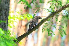 Oriental honey-buzzard in Japan. Oriental honey-buzzard Pernis ptilorhyncus in Japan Royalty Free Stock Image