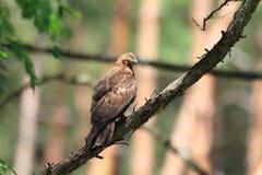 Oriental honey-buzzard in Japan. Oriental honey-buzzard Pernis ptilorhyncus in Japan Stock Image