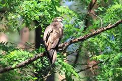 Oriental honey-buzzard in Japan. Oriental honey-buzzard Pernis ptilorhyncus in Japan Stock Images