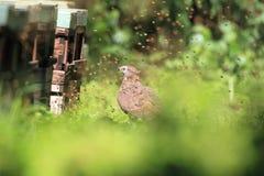 Oriental honey-buzzard in Japan. Oriental honey-buzzard Pernis ptilorhyncus in Japan Stock Photos