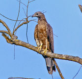 Oriental Honey Buzzard. A Rest of Tree Oriental Honey Buzzard Royalty Free Stock Images