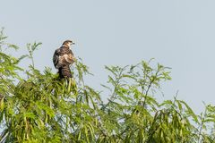 Oriental Honey Buzzard stock photo