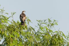 Oriental Honey Buzzard royalty free stock photos