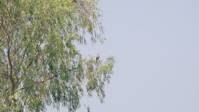 Oriental Honey Buzzard on the tree stock footage