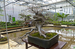 Oriental hornbeam - Bonsai in the style of Royalty Free Stock Photography