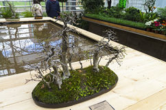 Oriental hornbeam - Bonsai in the style of  & x22;Grove& x22;. Royalty Free Stock Image