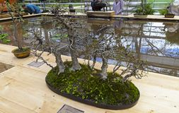 Oriental hornbeam - Bonsai in the style of Royalty Free Stock Images