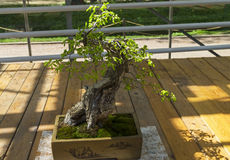Oriental hornbeam - Bonsai in the style of  & x22;Straight and free& x22; Royalty Free Stock Photography
