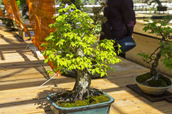 Oriental hornbeam - Bonsai in the style of. `Straight and free`. Exhibition of Bonsai in Aptekarsky Ogorod a branch of the Botanical Garden of Moscow State Stock Photography