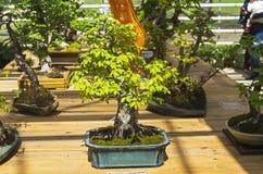 Oriental hornbeam - Bonsai in the style of Stock Image