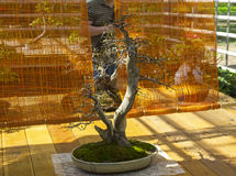 Oriental hornbeam - Bonsai in the style of  & x22;Two trunks& x22; Royalty Free Stock Images