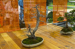 Oriental hornbeam - Bonsai in the style of Royalty Free Stock Photos
