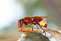 The Oriental hornet. (Vespa orientalis), is a hornet which looks very similar to the European hornet Royalty Free Stock Photography