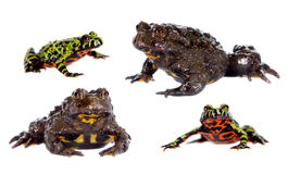 Oriental and Hubei Fire-bellied Toads on white Royalty Free Stock Photos