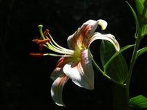 Oriental Hybrid Lily `Salmon Star` Royalty Free Stock Image