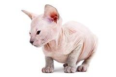 Oriental kitten Stock Photography